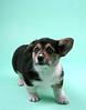 Welsh Corgi Puppy @ 8 weeks