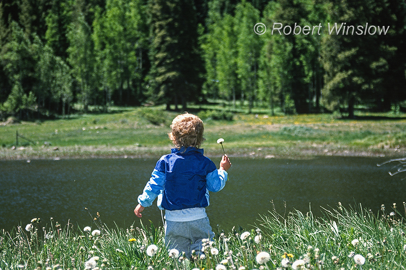 Model Released, Boy, 2.5 years old, holding a dandelion, by a pond, Crested Butte, Colorado, USA, North America