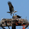 An osprey nest is near the Boulder Model Airplane site. The bird family and the club members seem to get along.<br /> Cliff Grassmick / June 18, 2010