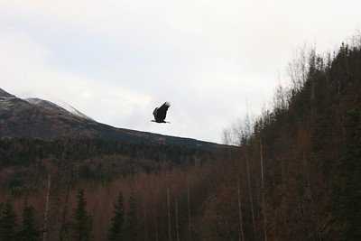 A bald eagle flying around looking for a meal.