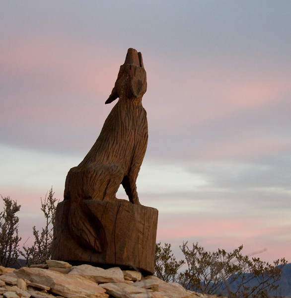 Odie Coyote howling at the early morning sun, Uncle's place, Terlingua, TX