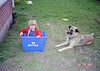 Helen in the recycling box with Lady. Lady was one of the best dogs I ever had. She was a stray that we picked up in a campground near Athabasca Alberta.  Lady moved east with us and lived in Glenburnie Ontario until she disappeared. We suspect our next door neighbor poisoned her. He hated Lady because she was a runner. If we left the gate open or ajar she was out in the fields in seconds. We got back at our neighbor by promptly getting another dog named Charlie. Charlie was the worst dog I ever had! He suffered from separation anxiety and barked incessantly which I'm sure delighted our dog-hating neighbor.