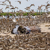 Sound Recording Red Knots.jpg