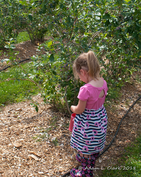 Last year Liliana pretty just ate everything she picked.  So this year it was nice that she filled her bucket first