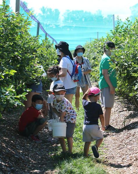 Features at Parlee Farms in Tyngsboro. This is peak blueberry picking season. Timing is earlier than normal because of the heat. Owner Ellen Parlee expects blueberry picking will probably be done by mid-August. They hope to start pick-your-own peaches the first week of August.  (SUN/Julia Malakie)