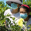 Features at Parlee Farms in Tyngsboro. This is peak blueberry picking season. Anjie Chen, 12, right, and her mother Jane Cai of Bedford, pick blueberries. (SUN/Julia Malakie)