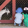 Features at Parlee Farms in Tyngsboro. This is peak blueberry picking season. Kids study the young goats in the barn. (SUN/Julia Malakie) [parent didn't want to give names]
