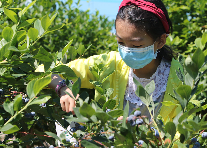 Features at Parlee Farms in Tyngsboro. This is peak blueberry picking season. Anjie Chen, 12, of Bedford, picks blueberries. (SUN/Julia Malakie)