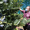 Features at Parlee Farms in Tyngsboro. This is peak blueberry picking season. Timing is earlier than normal because of the heat. Dan Harvey of Andover picks blueberries. (SUN/Julia Malakie)