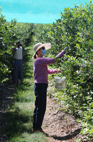 Features at Parlee Farms in Tyngsboro. This is peak blueberry picking season. Xiaoqin Qin of Quincy picks blueberries.  (SUN/Julia Malakie)