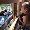 Lilyanna Pagan, 4, of Lowell, feeds the goats at Annie's Animal Barns, at Parlee Farms in Tyngsboro. (SUN/Julia Malakie)