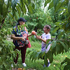 Emily Coca, 8, and her grandmother Luce Stella Toro, both of Lowell, pick peaches with other family members at Parlee Farms in Tyngsboro. (SUN/Julia Malakie)