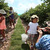 Nubia Ochoa, right, her daughter Andrea Caceres, rear, and granddaughters Diana Caceres, 3, right, and Victoria Caceres, 5, left, all of Lowell, pick blueberries at Parlee Farms in Tyngsboro. (SUN/Julia Malakie)