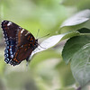 Butterfly perches on an apple tree at Parlee Farms in Tyngsboro. [Best guess: a Red-spotted Purple, Limenitis arthemis] (SUN/Julia Malakie)
