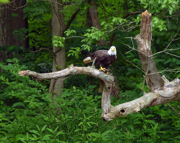 A few miles into the ride, Cindi spotted this eagle holding a fish that was probable as heavy as he was.