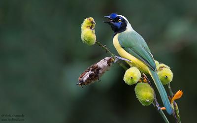 Inca Jay (Green Jay) - San Isidro Lodge, Ecuador