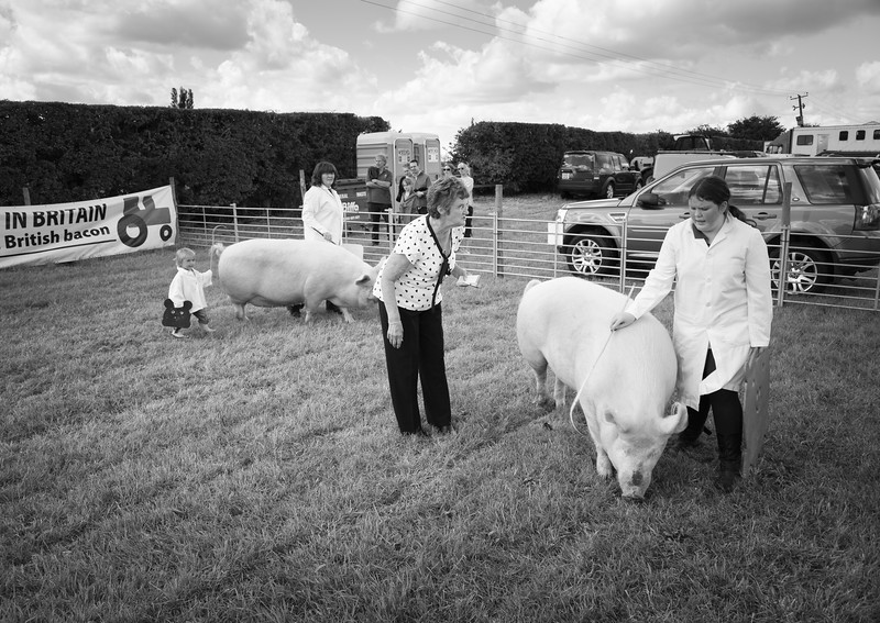 Pigs at Tockwith Show - North Yorkshire UK 2013