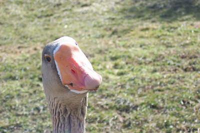 A goose...