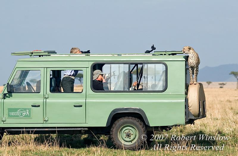 Model Released, Cheetah (Acinonyx jubatus), on Safari Vehicle, Masai Mara National Reserve, Kenya