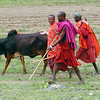Masai Men Herding Their Cow