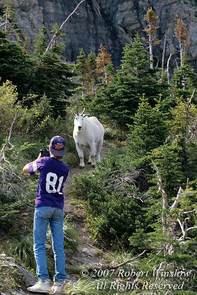 No Model Release, Young Male Tourist, Photographing a Mountain Goat, Glacier National Park, Montana, USA, North America