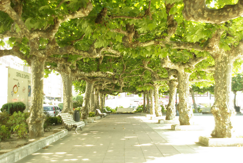 Plane (?) trees, San Vincente de la Barquera, North Spanish coast