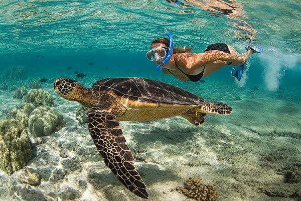 snorkeler and green sea turtle or honu, Chelonia mydas, <br /> ( an endangered species ) Kahalu'u Beach Park, Kona, Hawaii <br /> ( Central Pacific Ocean ) MR