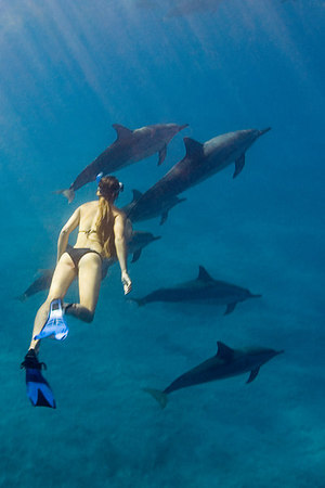 snorkeler swims among pod of <br /> spinner dolphins, Stenella longirostris,<br /> Hawaii ( Central Pacific Ocean )
