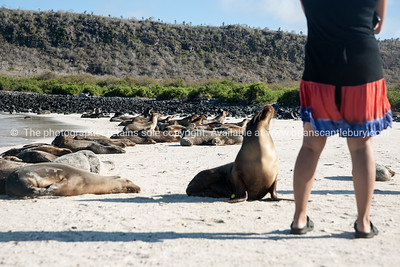 Sea lions getting friendly.          www.blurb.com/b/3551540-galapagos-islands