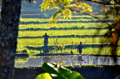 People working the Rice Fields