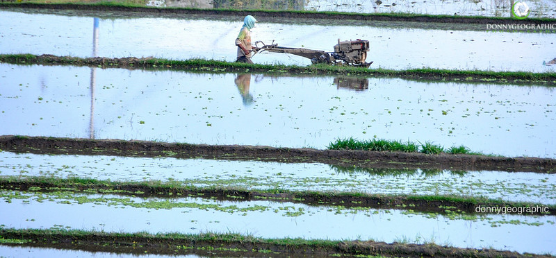 Tilling the rice fields.