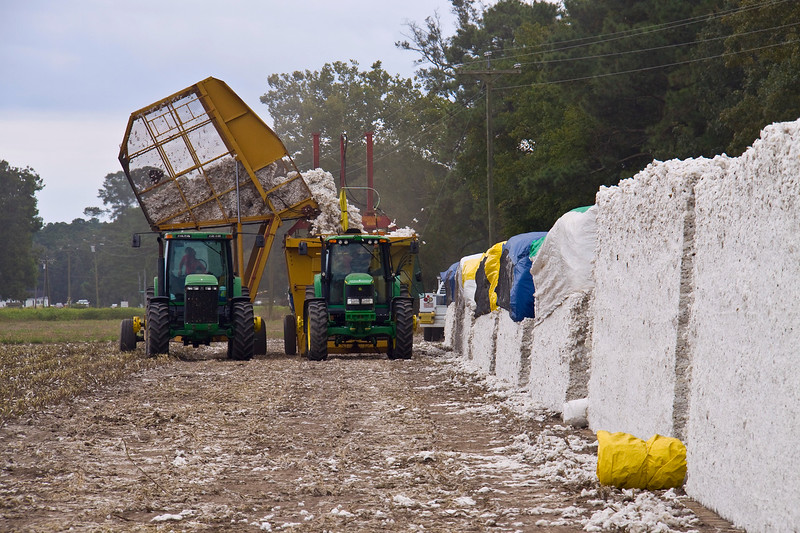 People bringing in the cotton to bale