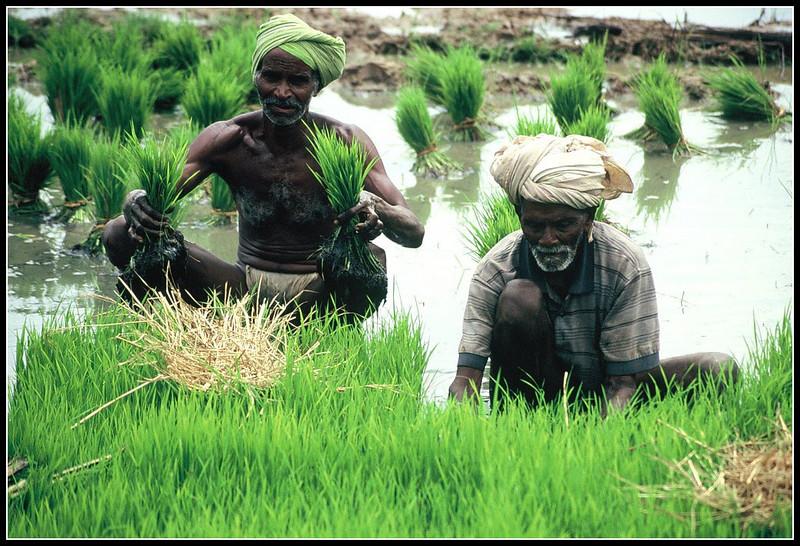 INDIA PLANTING RICE
