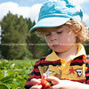 Strawberry picking, child examines his pick.<br /> Model release: Yes.