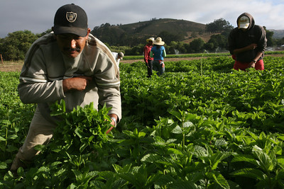 Farmers harvesting spearmint at Jacobs Farm in Pescadero, Ca.