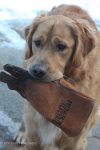 Daddy...were you looking for a glove?!?  Our retriever, Finley.  ;-)