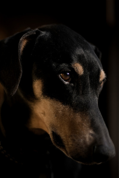 Onyx, my Dobie girl at age 6 years..She is nearly 9 now.