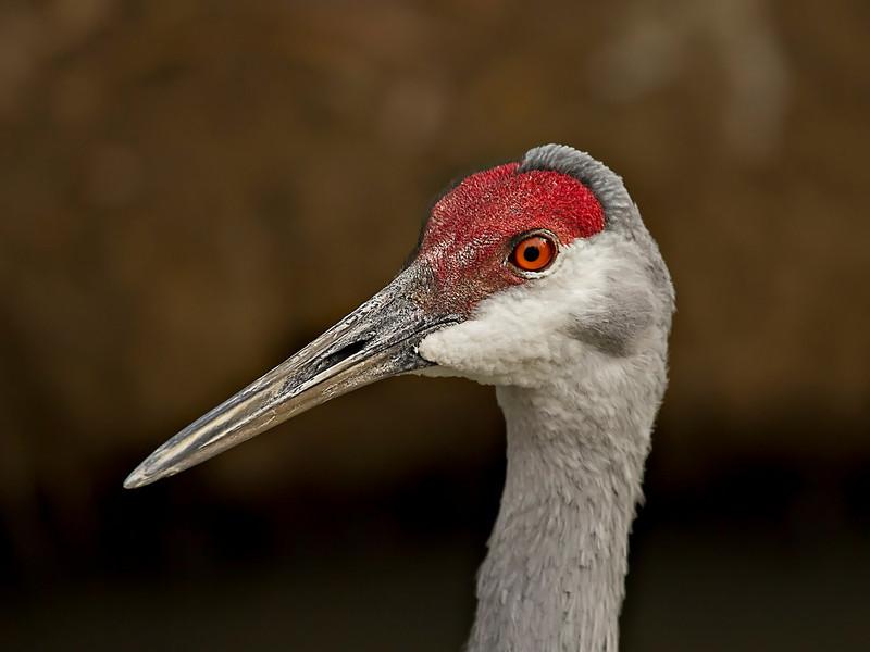 Sand Hill Crane Head