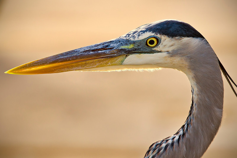 Great Blue Heron Head Shot..<br /> This was one tame GBH, but in the wild!!!