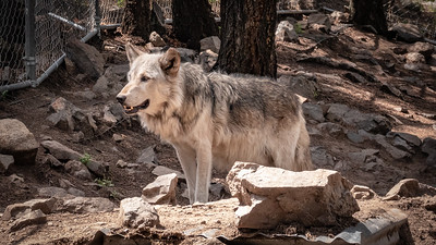 Wolves 08-07-18 with Family-05989
