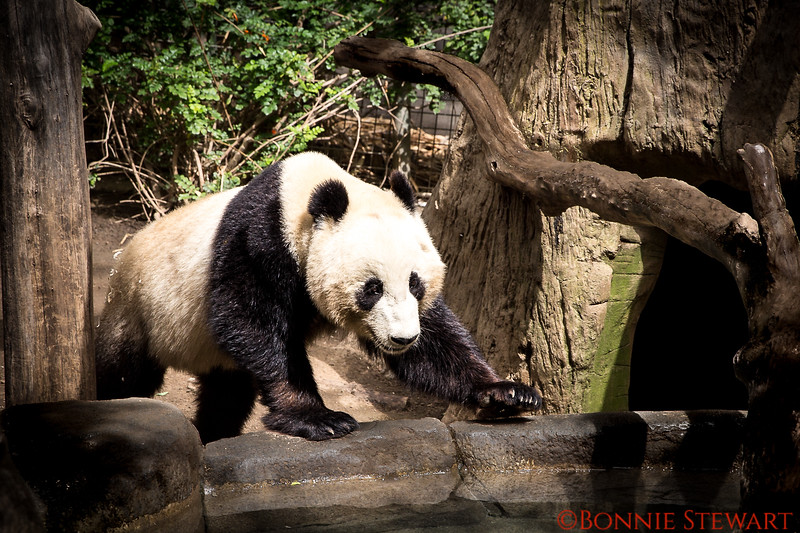 Panda in the Zoo