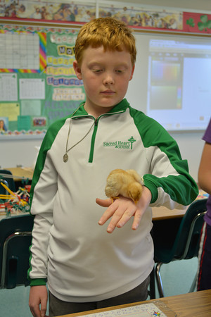 Caden Wiedman holds his chick, Lucky Clucky, in his fifth grade science class at the Sacred Heart Open House recently.