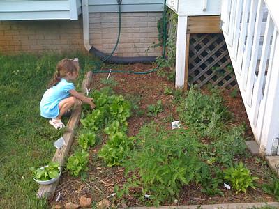 Harvesting Good Yum Lettuce