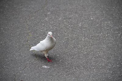 Strutting pigeon 3