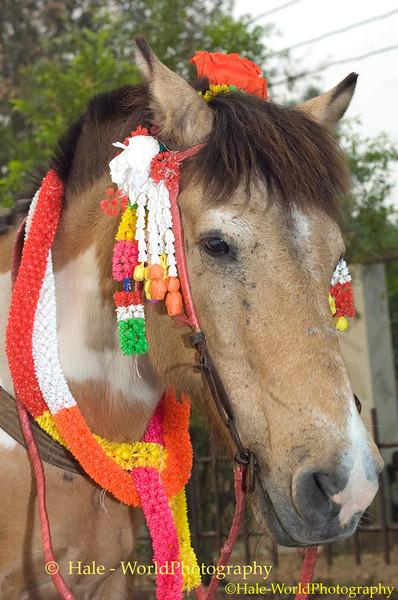 Decorated Horse Waiting to Lead Poi Sang Long Parade Through Maehongson, Thailand