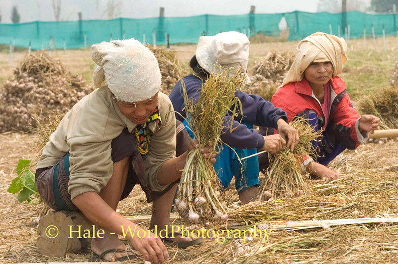 Shan Women Preparing Garlic to be Hung in Drying Barn