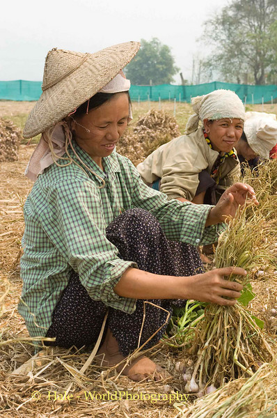Shan Women Preparing Garlic to be Hung in Drying Barn
