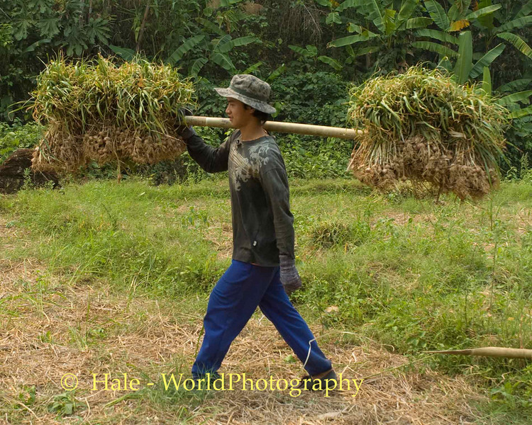 Shan Field Worker Carrying Dry Garlic Bulbs Across Rice Paddy