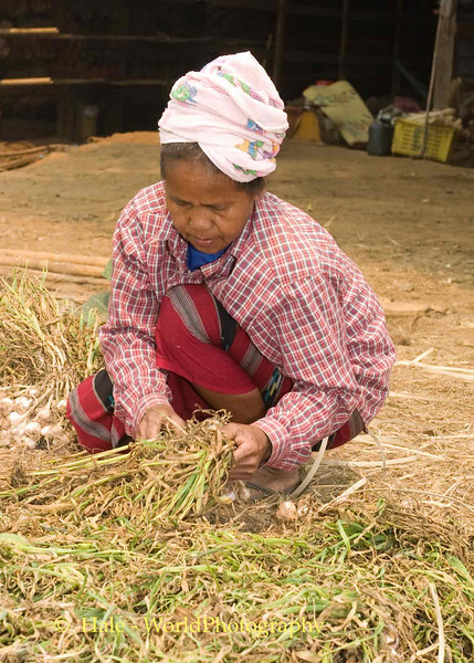 Shan Woman Preparing Garlic to be Hung in Drying Barn