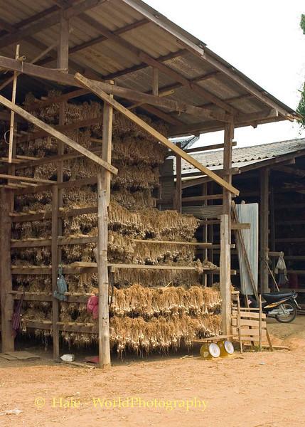 Racks of Garlic Drying In Barn Located in Baan Nai Soi, Thailand